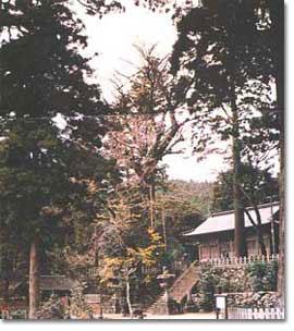 雷神社の公孫樹(イチョウ)