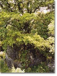 石灰岩とツゲの木