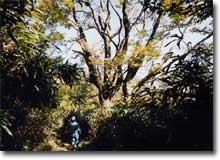 釈迦岳頂上付近のブナの大木