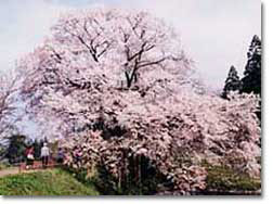 浅井の一本桜(ヤマザクラ)