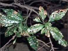 ヤマモガシの被害葉