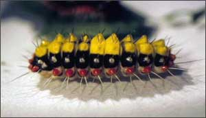 サツマニシキ幼虫