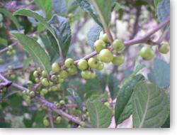 ウメモドキ未熟な果実