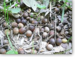 アラカシ落ちた果実