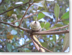 ウバメガシ若い果実