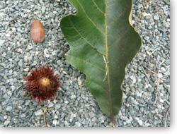 カシワ果実と葉
