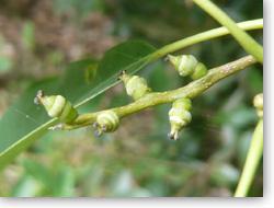 シラカシ若い果実