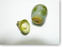 シリブカガシ果実