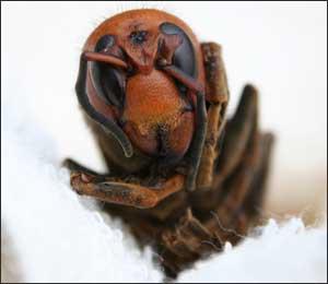 オオスズメバチの顔