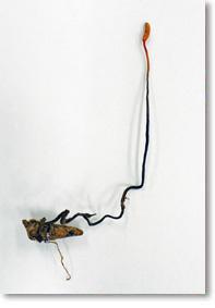カメムシに 寄生した冬虫夏草
