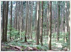 まっすぐな木がならぶスギ人工林