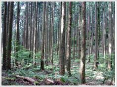 手入れがよい明るいスギ人工林