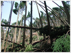 台風被害を受けたスギ人工林