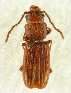 サビカクムネヒラタムシ雌成虫