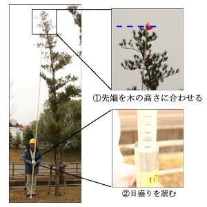 測棹による樹高測定