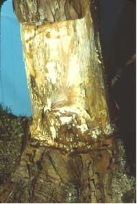ナラタケモドキの被害-2